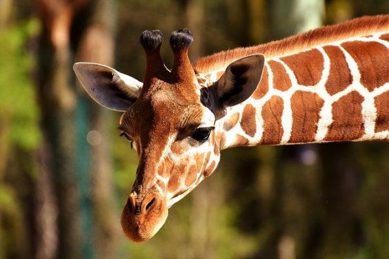 Girafa zoologico en cali