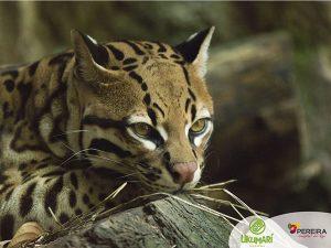 Tigre del zoo